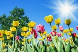 Tulpaner i vårsol